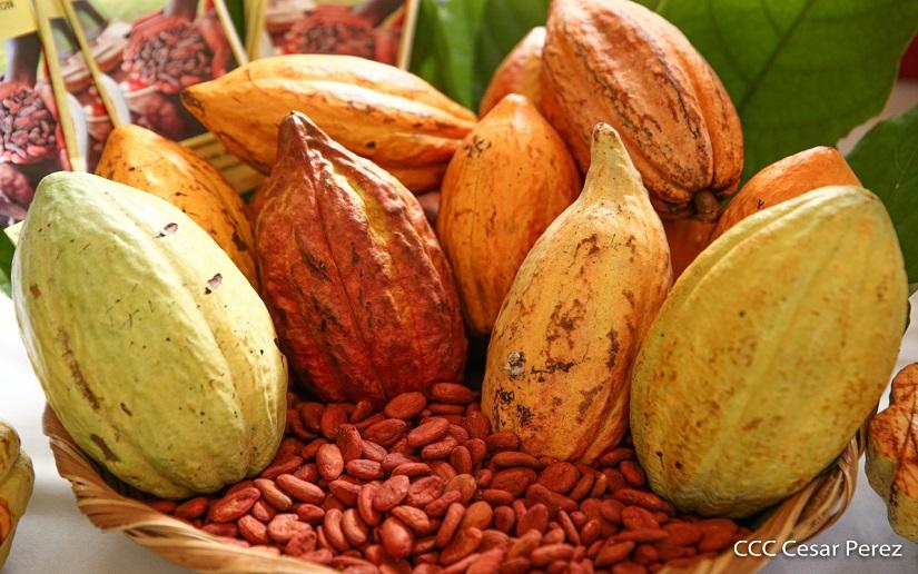 Nicaragua: invertirán 12 millones de dólares para la siembra de cacao