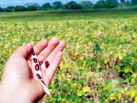 Agricultores nicas disponen de aplicación digital para producir más frijoles