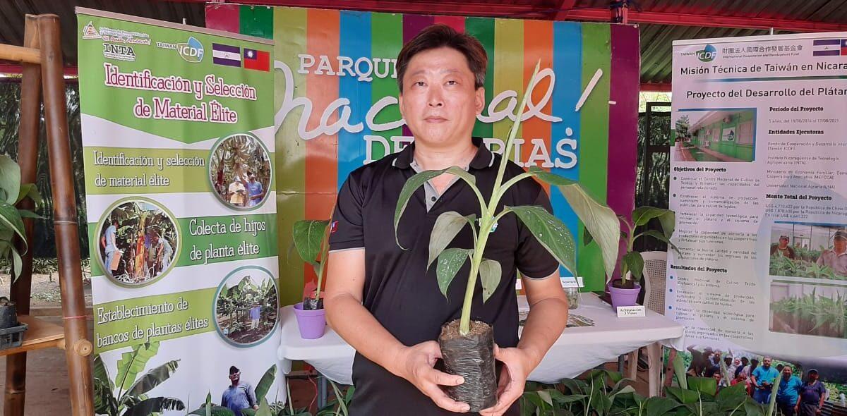 Plantas de plátano in vitro en el Parque de Ferias