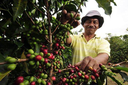 Al menos 300 mil empleos generará la próxima cosecha cafetalera