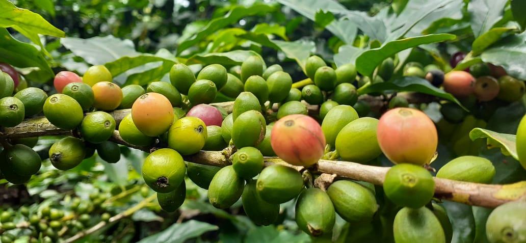 Producción cafetalera nicaragüense crecerá en un 10%