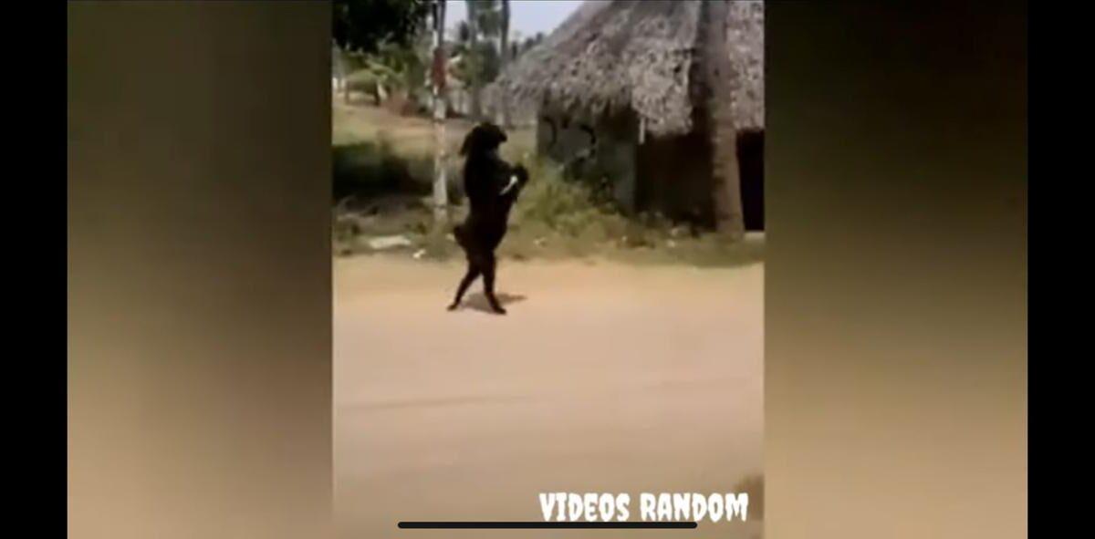 Cabra camina en dos patas