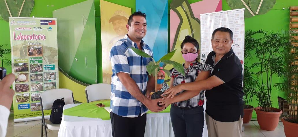 Entregan plantas mejoradas de plátano a 200 familias productoras de Managua