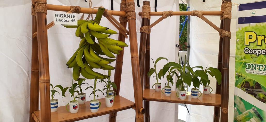 Transferencia tecnológica ayuda a mejorar rendimiento en los cultivos de plátano