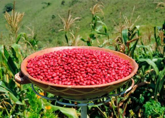 Nicaragua sembró 130 mil manzanas de frijoles en la postrera
