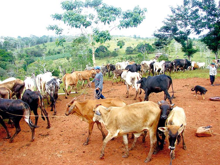 Carazo con visión de mejorar genética bovina