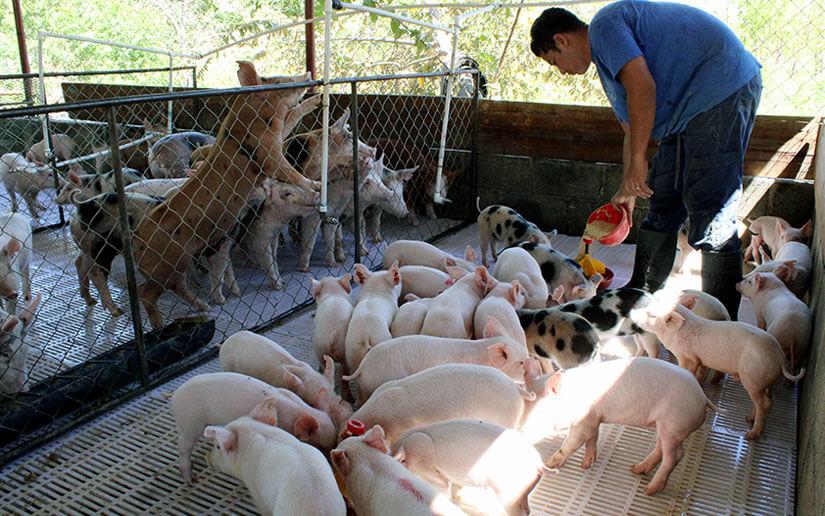 Taiwán dona un millón de dólares  para fortalecer porcicultura en Nicaragua