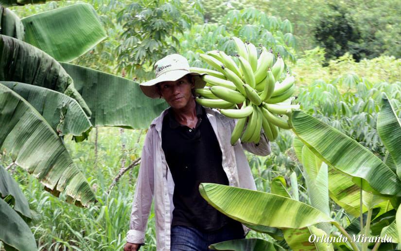 Productores de vitro plantas de plátanos aprenden estrategias de comercialización
