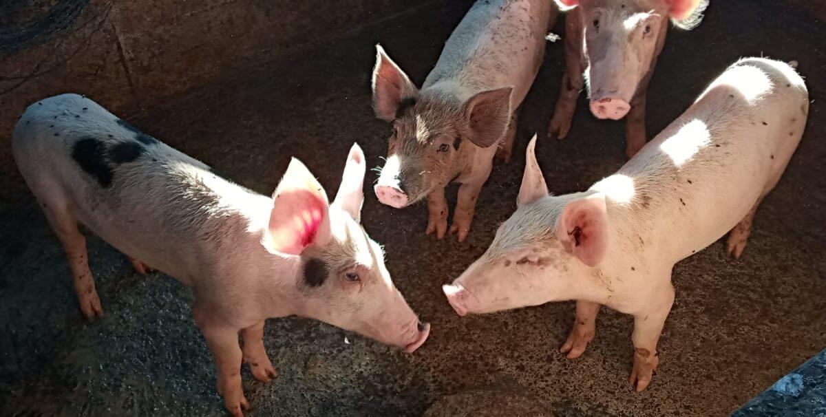Aumenta venta de cerdos en pie en esta temporada