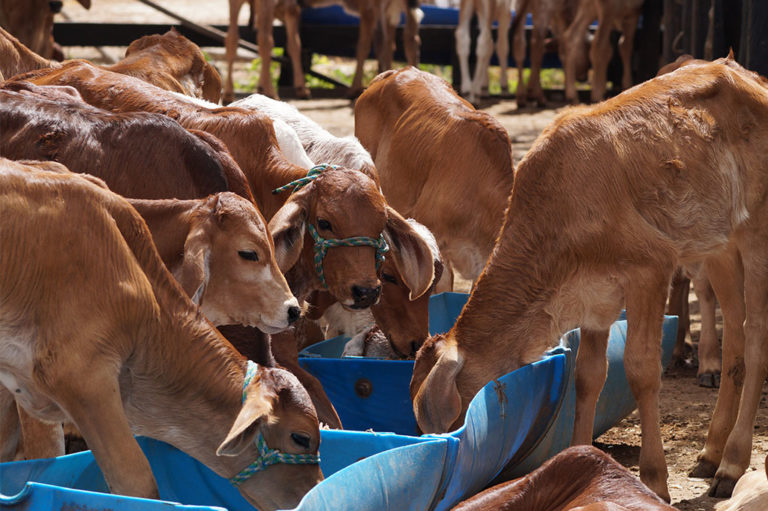 Más de 40 mil vientres bovinos inseminados en Nicaragua