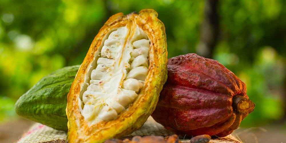 Sector Cacaotero en Nicaragua genera 17 millones en divisas