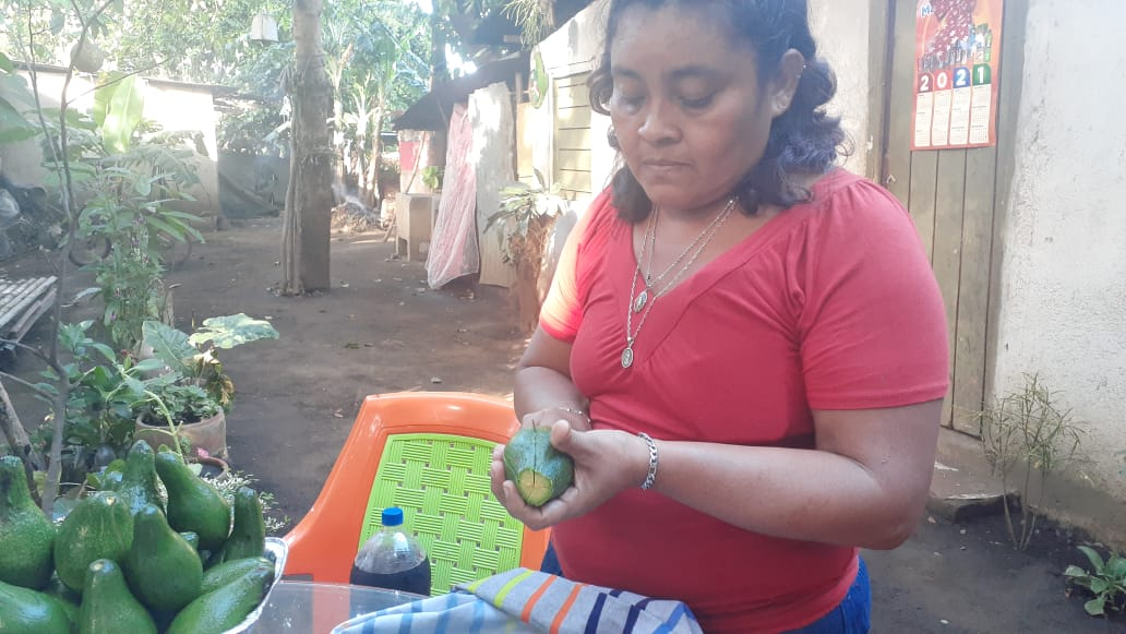 Familia de Ticuantepe aprovecha pequeño patio para producir aguacates