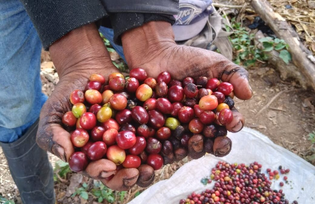 Matagalpa produce más del 90 % de café en Nicaragua
