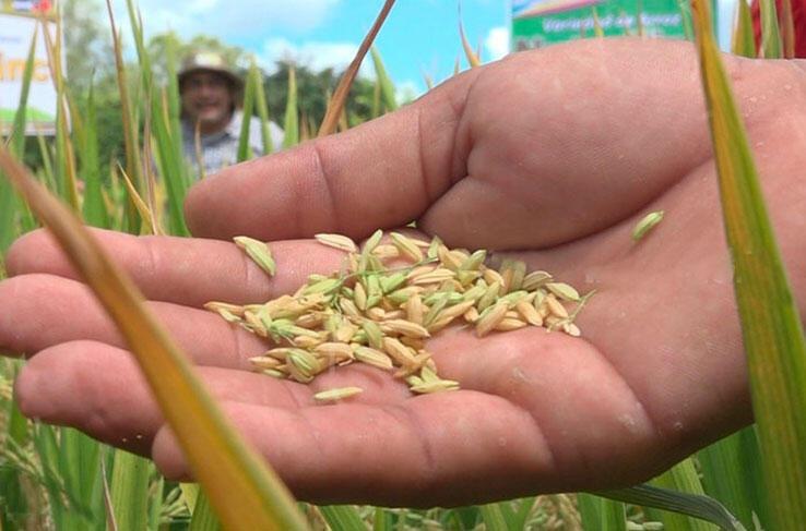 Nicaragua produce el 65% de la demanda nacional de arroz