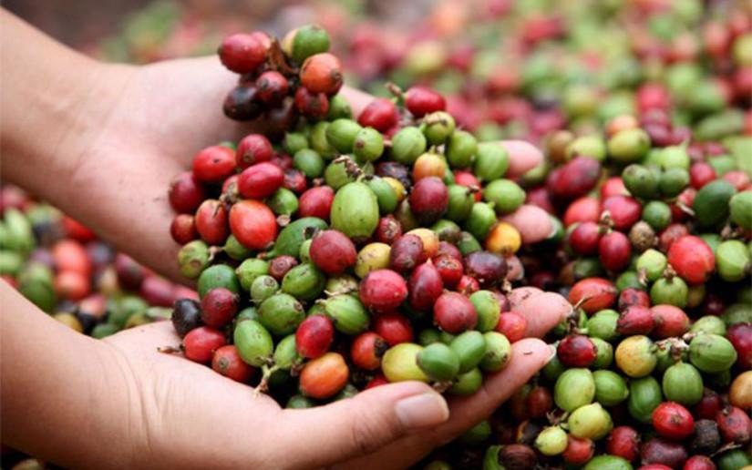 Producción de café en Nicaragua crecerá un 8.8% en el presente ciclo