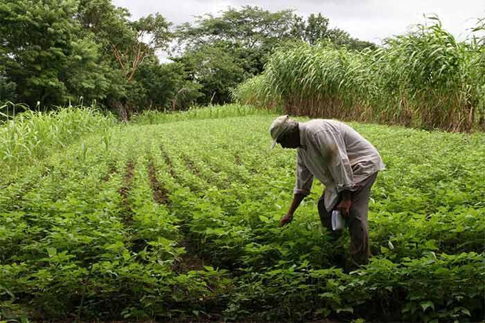 Productores de Tipitapa confían en un buen invierno para aumento de la cosecha 2021