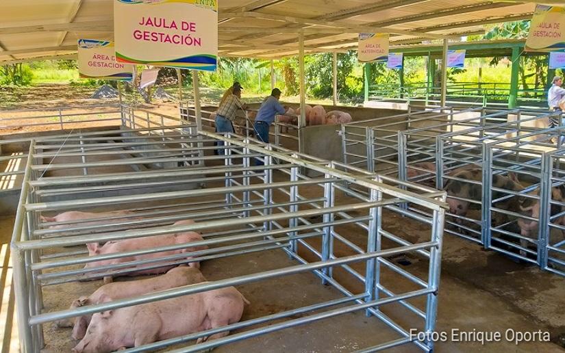 Más de 13 mil cerdos inseminados en granjas de mejoramiento genético en Nicaragua