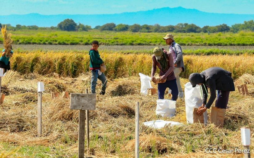 Bonos tecnológicos serán entregados para la siembra de primera en Nicaragua