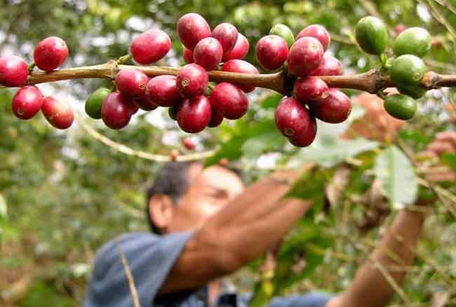 Revista Trade Insight de Taiwán destaca calidad del café de Nicaragua