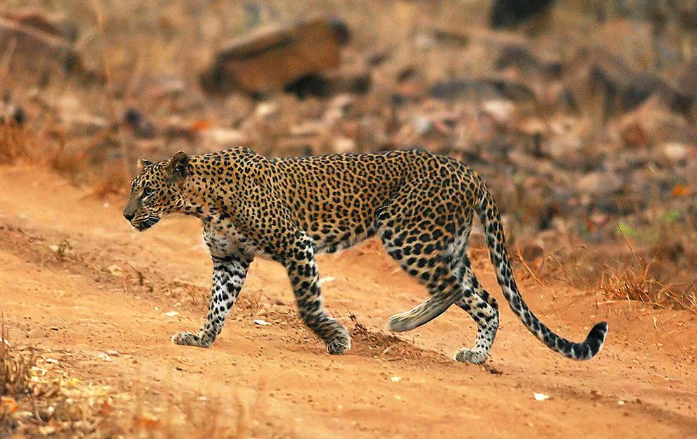 Niña de 5 años muere tras ser atacada por un leopardo en la India