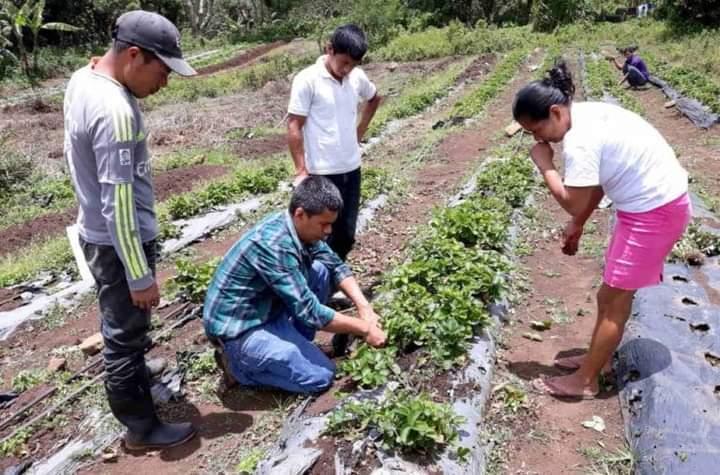Productores nicaragüenses recibieron 178 mil bonos tecnológicos para la siembra