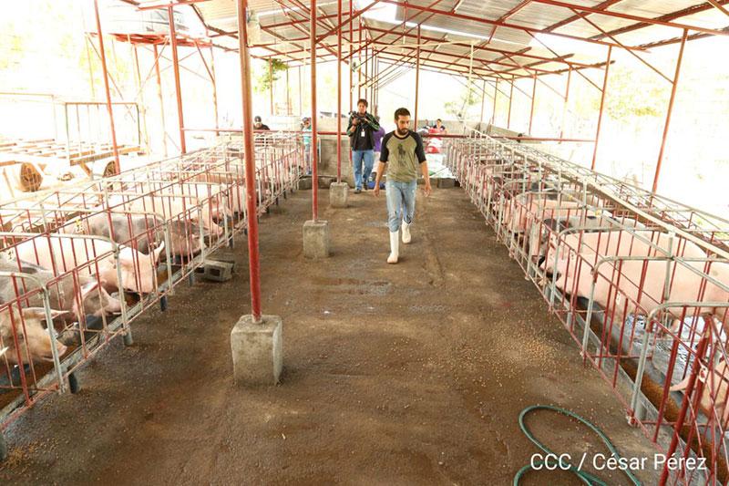 Programa de inseminación bovina y porcina avanza positivamente en Nicaragua