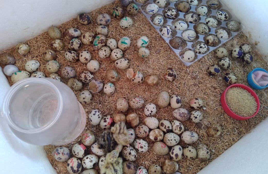 Pequeños emprendedores promueven la crianza del ave codorniz en Managua