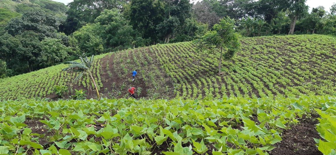 Productores de frijol inician a limpiar cultivos y prevén excelente cosecha