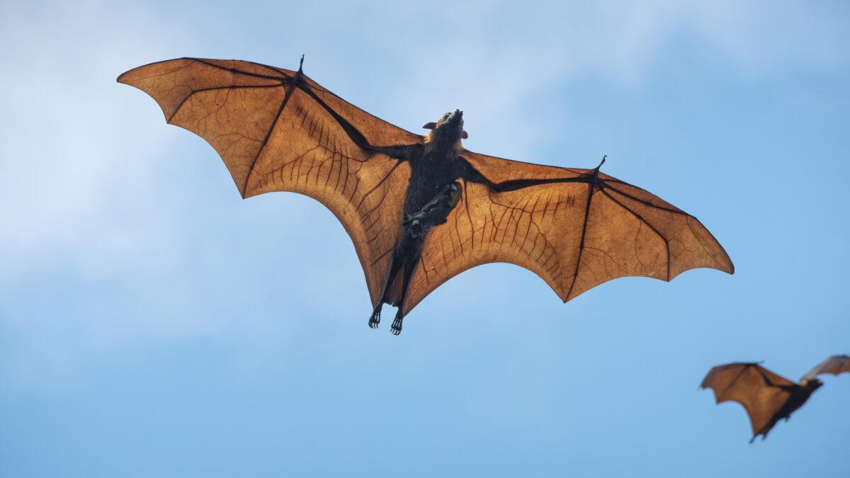 Científicos descubren contagios por nuevo Coronavirus trasmitido por murciélagos