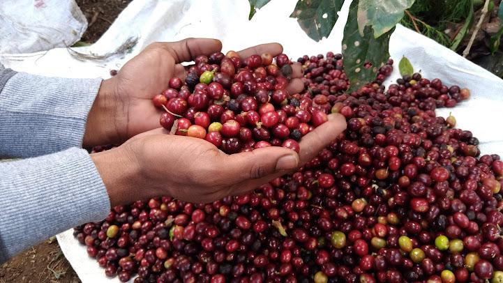 Café nicaragüense de calidad alcanza precio de $ 15.76 por libra en el extranjero