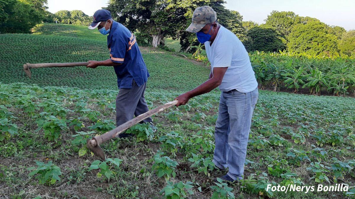 Productores de frijoles en Managua esperan buena cosecha en la postrera
